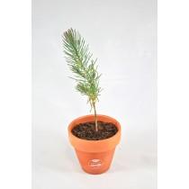 Plant d'Arbre Résineux en Pot de Terre